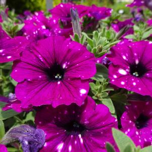 Petunia 'Headliner™ 'Electric Purple Sky''