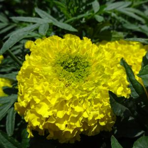 Tagetes '20OS03 Yellow F1'