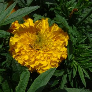 Tagetes '20OS2C-2 Big Duck 'Gold''