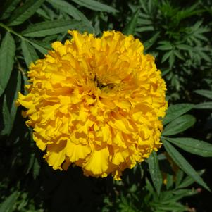Tagetes '20OS03C-2 Big Duck 'Gold''