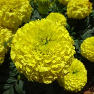 Tagetes '20OS3C-1 Marvel 'Yellow''