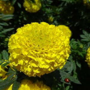 Tagetes 'Marvel II™ 'Yellow''