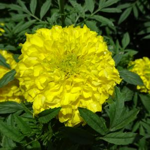 Tagetes '20OS03C-3 Perfection 'Yellow''